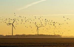 wind turbines killing birds